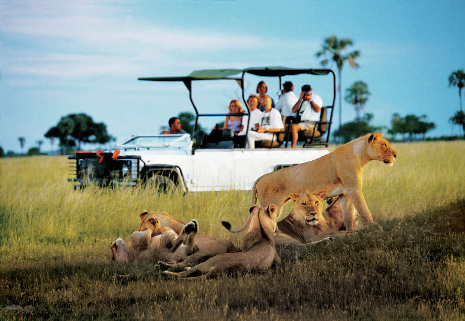 "Seeing lions on safari in Zimbabwe is a delight for visitors, who consider it one of the ""Big Five,\"" along with the elephant, rhino, leopard and Cape buffalo."