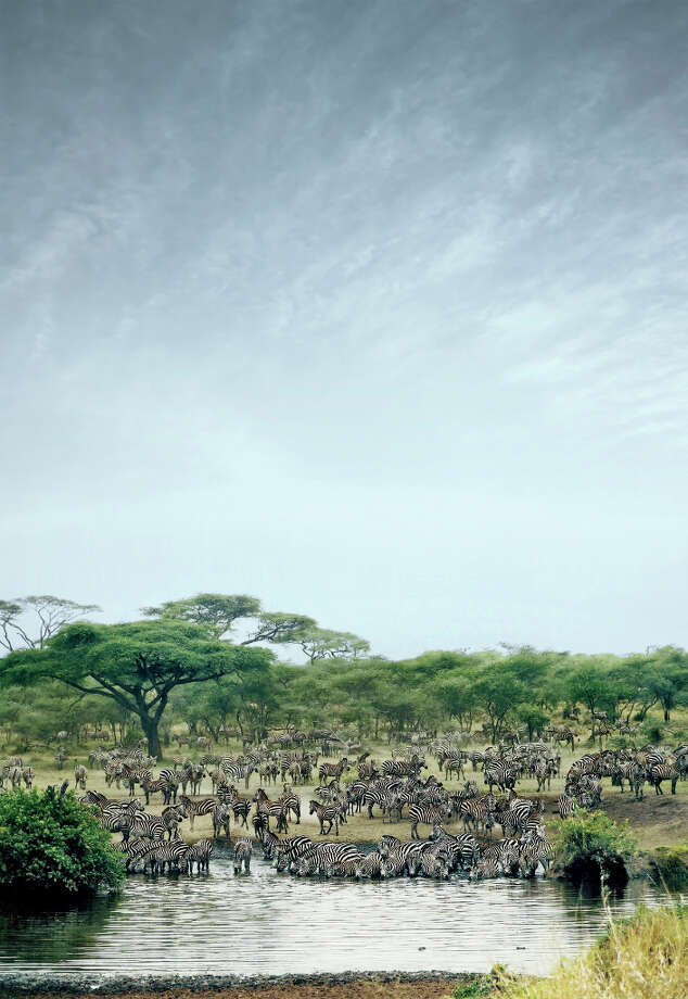 The creation of a transnational conservation area in African\'s fragile wetlands areas should help this dazzle of zebras (yes, that\'s the collective term) in Botswana.