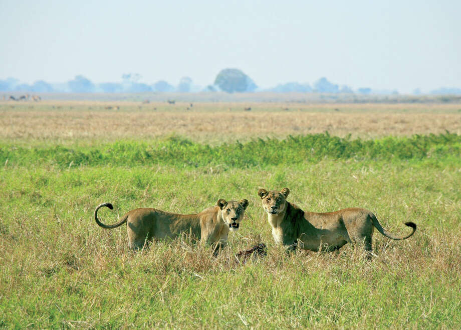 It\'s the circle of life: Lions can\'t remain king if they don\'t kill their prey.