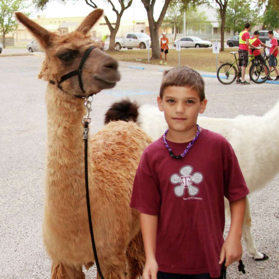Terry and Bobbie White's son Tanner brought his llama, Lila Scott, to the recent 5K Llama Leap run in Seguin. Photo: Forrest M. Mims III / For The Express-News