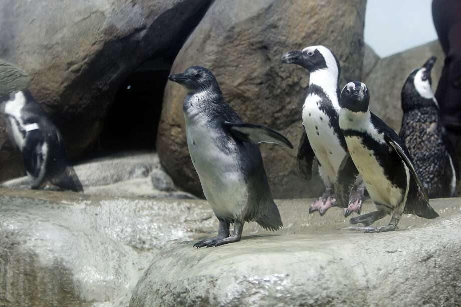 Biologists introduced a new two-month old penguin chick, (center) to the public for the first time at the African penguin exhibit inside  the California Academy of Sciences on Wednesday April 10, 2013. The penguin chick until now has been living with his parents in a private nest off of public view to give the family a chance to bond. Photo: Michael Macor, The Chronicle