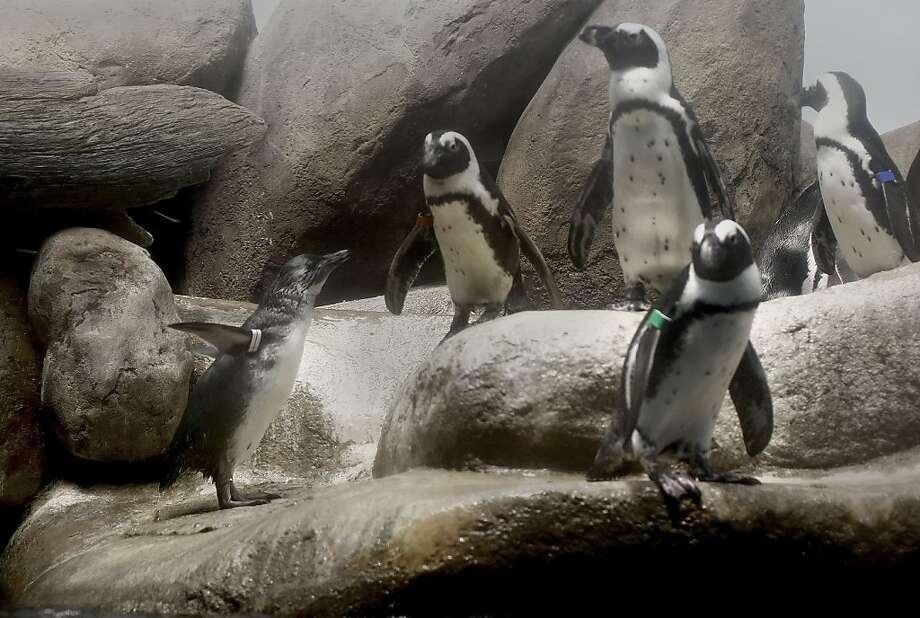 Cal Academy introduces baby penguin - San Antonio Express-News