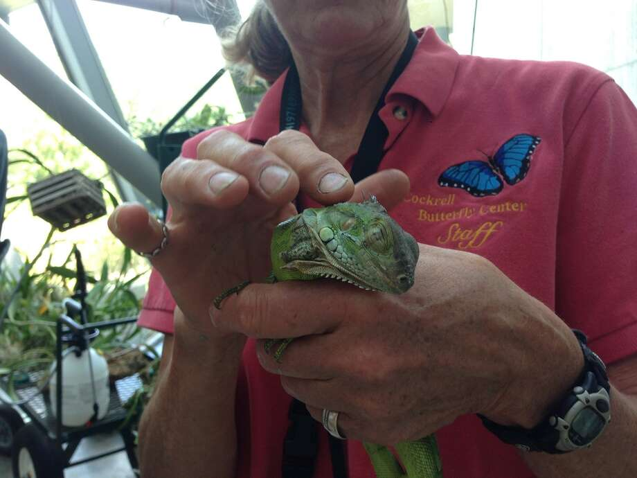A Colombian iguana tucked itself away on a cargo vessel among at shipment of tools and made it all the way to the United States. It will now make its home at the Houston Museum of Natural Science?s Cockrell Butterfly Center. Photo: Cockrell Butterfly Center