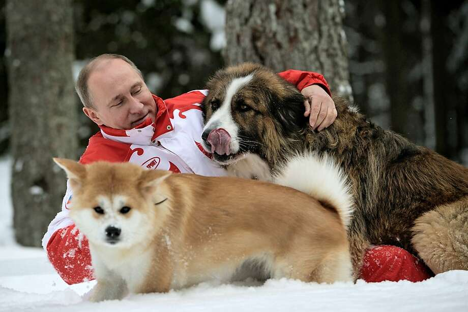 Putin plays ruff:Russian President Vladimir Putin wrestles with Buffy and Yume at his residence Novo-Ogariovo, outside Moscow, in this newly released photo taken a couple of weeks ago. Buffy, a Bulgarian shepherd, was a gift from  Bulgarian leader Boyko Borisov. Japanese Prime Minister Yoshihiko Noda gave Putin Yume, an Akita Inu, during the G20 conference in Mexico in June. Photo: Alexsey Druginyn, AFP/Getty Images