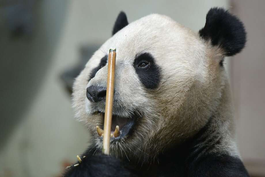 Hmm, the 10 ball is blocking the three, but if I bank the cue ball I'm liable to scratch the eight …Yang Guang ponders his next move in his enclosure in Glasgow, Scotland. Photo: Jeff J Mitchell, Getty Images