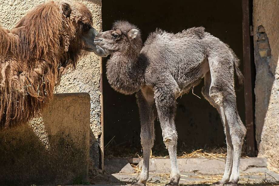 Humpty bumpty: Newborn Amelia bumps noses with her mother, a Bactrian camel at the Bioparco Zoo in Rome. Photo: Giorgio Cosulich, Getty Images