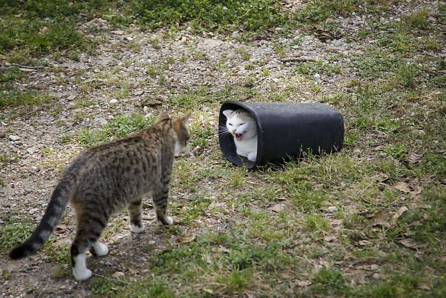 Empty the wastebasketsat the Feral Feline Retreat in Houston at your own risk. Photo: Michael Paulsen, Houston Chronicle