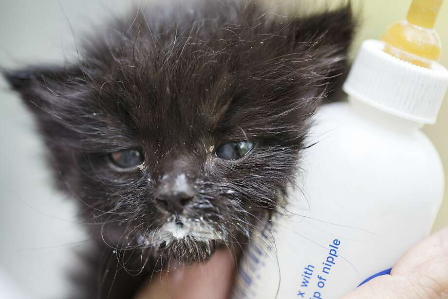 Got meeelk?Only 3 weeks old, abandoned kitty Scooter is getting plenty of TLC and milk mustaches at Feral Feline Retreat in Houston. Photo: Michael Paulsen, Houston Chronicle