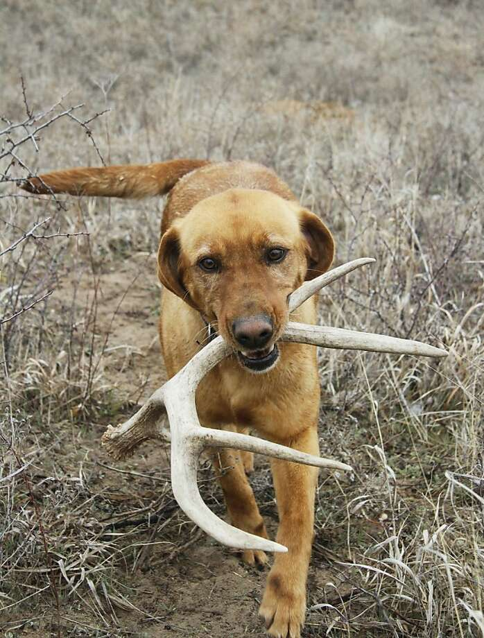 Hey, look what I found on a deer's head! Technically, trained antler dog Winnie fetches only racks that have already been shed by buck in Edwards County, Kan. Photo: Michael Pearce, McClatchy-Tribune News Service