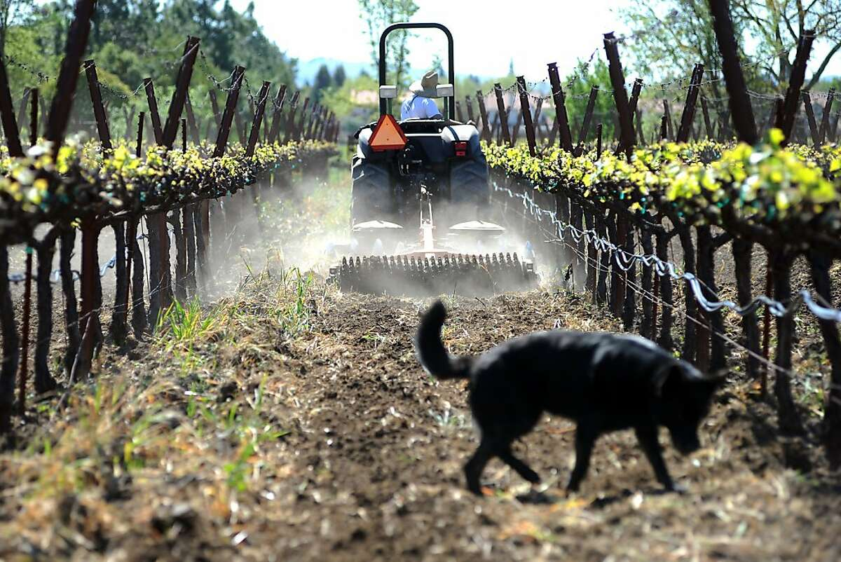 Farmhand Jack Roberts plows the soil between the vine rows at Steve Matthiasson's vineyard while Steves dog Coda digs around, in Napa, CA Wednesday April 10th, 2013.