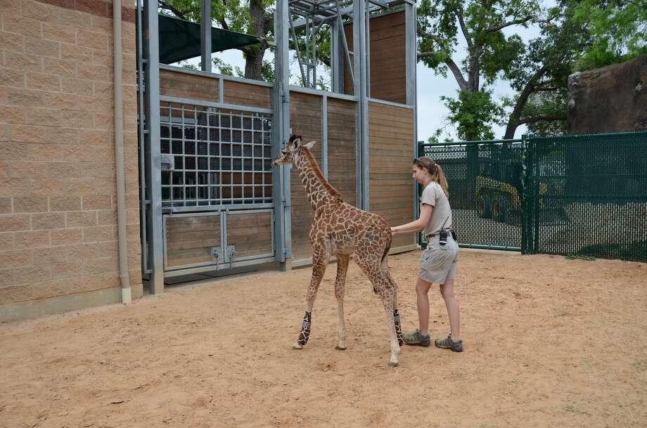 Giraffe keeper Jessica Sigle does physical therapy with Yao. The Massai calf underwent arthroscopic surgery in March.