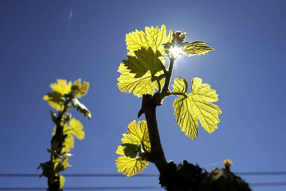 Because of climate change, vineyards might shift toward the California coast and make do with less acreage. Photo: Michael Short, Special To The Chronicle