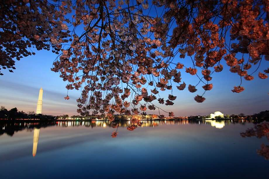 Cherry blossoms bloom along the Tidal Basin in Washington. Photo: Marc-Antoine Baudoux, AFP/Getty Images