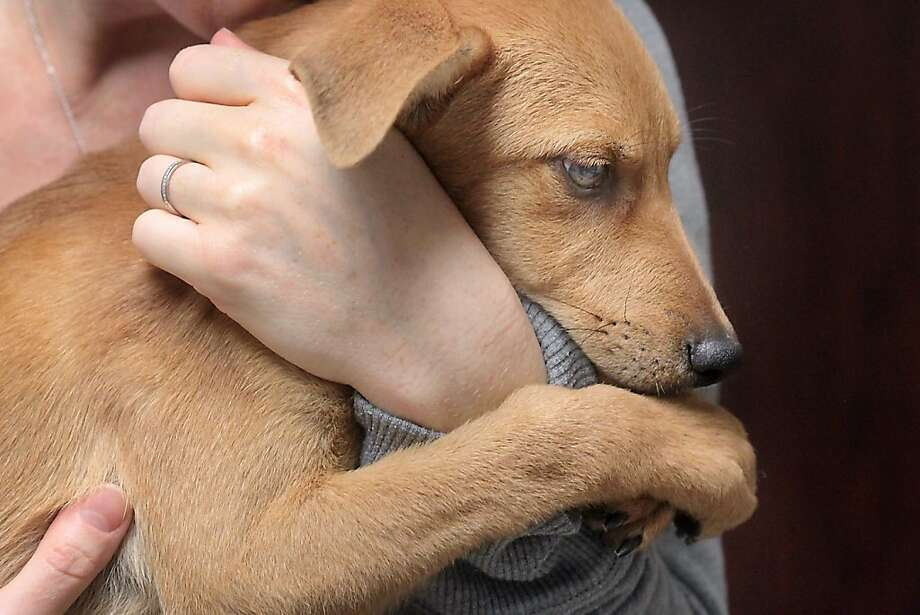 Don't let go: A rescued puppy hangs on tight to Kathleen Pine at the Main Street Animal Hospital in Victoria, Texas. A passing couple found the pooch and another puppy abandoned in the brush, hungry and without water. Photo: Frank Tilley, Associated Press
