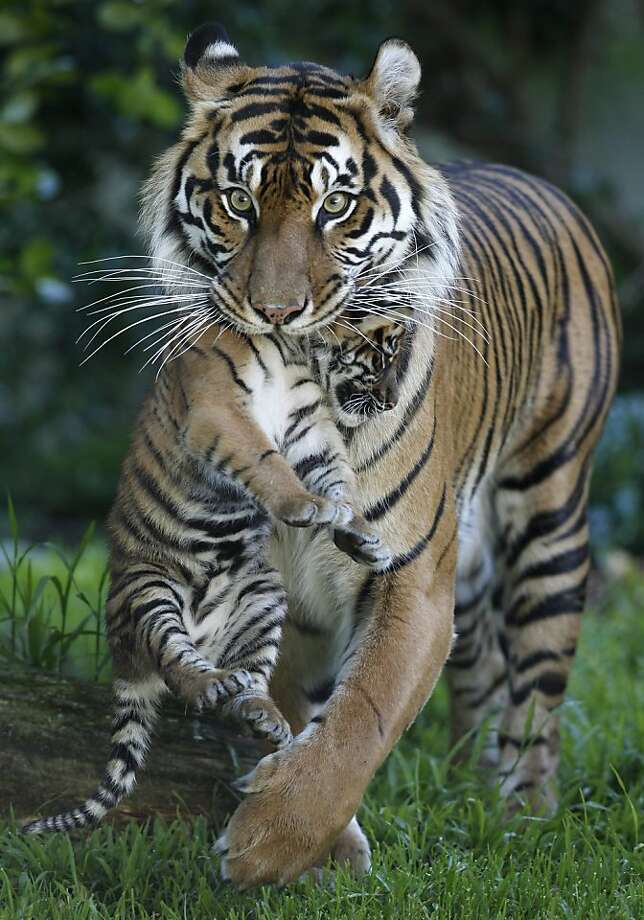 Leanne carries her 2-month-old Sumatran tiger cub at their outdoor enclosure. Photo: Paul Chinn, The Chronicle
