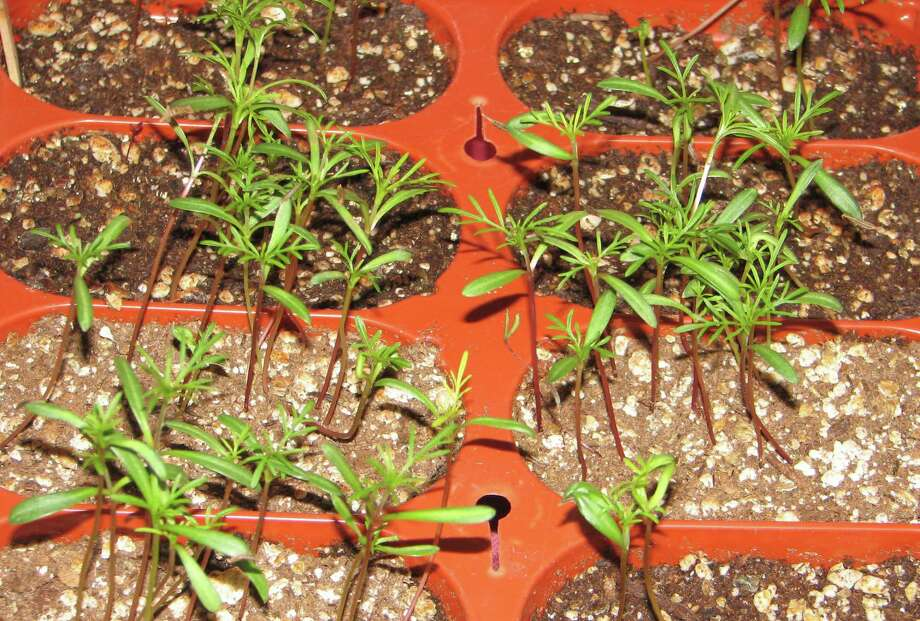 These marigold seedlings are off to a good start. Photo: Contributed Photo
