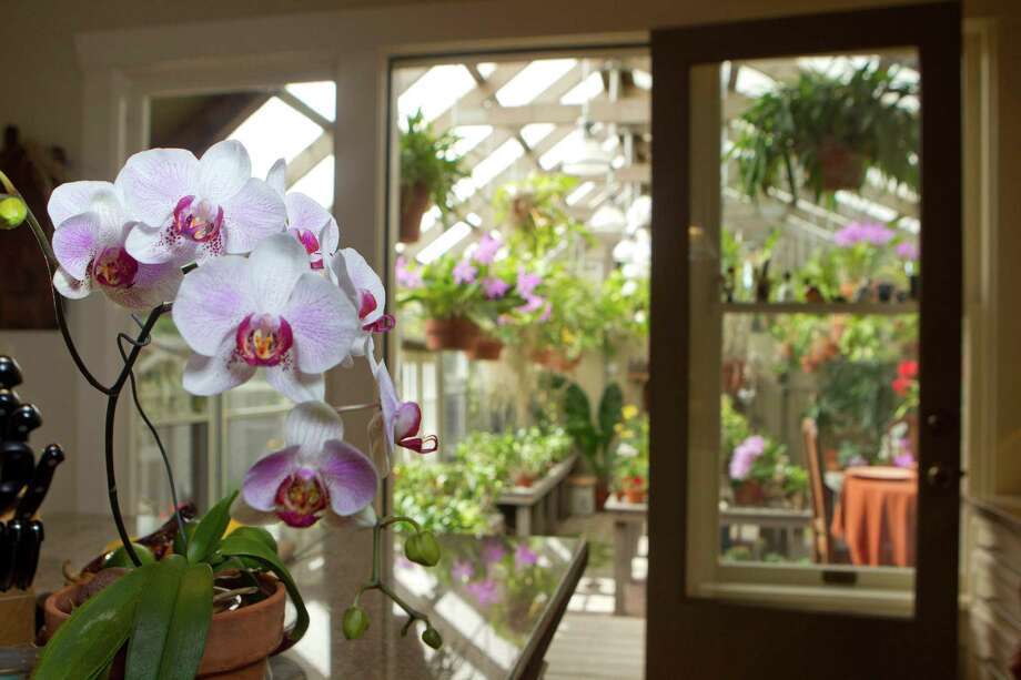 A moth orchid in the kitchen is a preview of  colorful blooms that fill Ron Bayer's  greenhouse. ( Johnny Hanson / Houston Chronicle ) Photo: Johnny Hanson, Staff / © 2013  Houston Chronicle