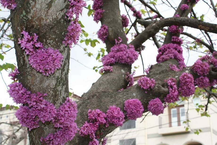 Redbuds can produce blooms on the trunk and main branches, a trait called cauliflory.