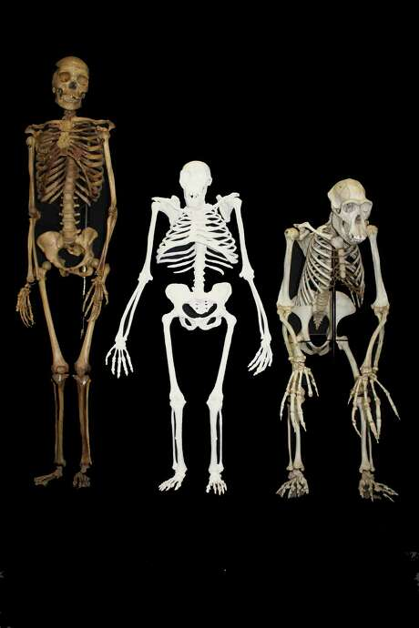 A reconstruction of the skeleton of Australopithecus sediba (center) is posed next to a small-bodied modern human female (left) and a male chimpanzee (right). Photo: Lee R. Berger / University Of The Witwatersrand