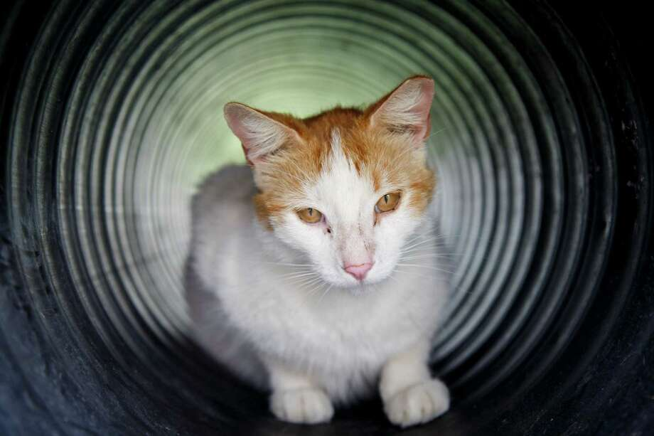 A cat sits in a tube at the Feral Feline Retreat, Tuesday, April 9, 2013, in Houston.  The Feral Feline Retreat is a Non-Profit Corporation dedicated to helping the homeless, helpless cats and dogs of Harris County, by trapping, neutering, releasing and feeding feral cats, and rescue roaming dogs. Photo: Michael Paulsen, Houston Chronicle / © 2013 Houston Chronicle