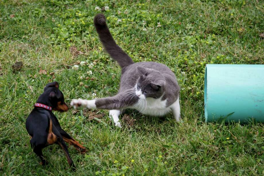 A cat swipes at a dog at the Feral Feline Retreat, Tuesday, April 9, 2013, in Houston. Photo: Michael Paulsen, Houston Chronicle / © 2013 Houston Chronicle