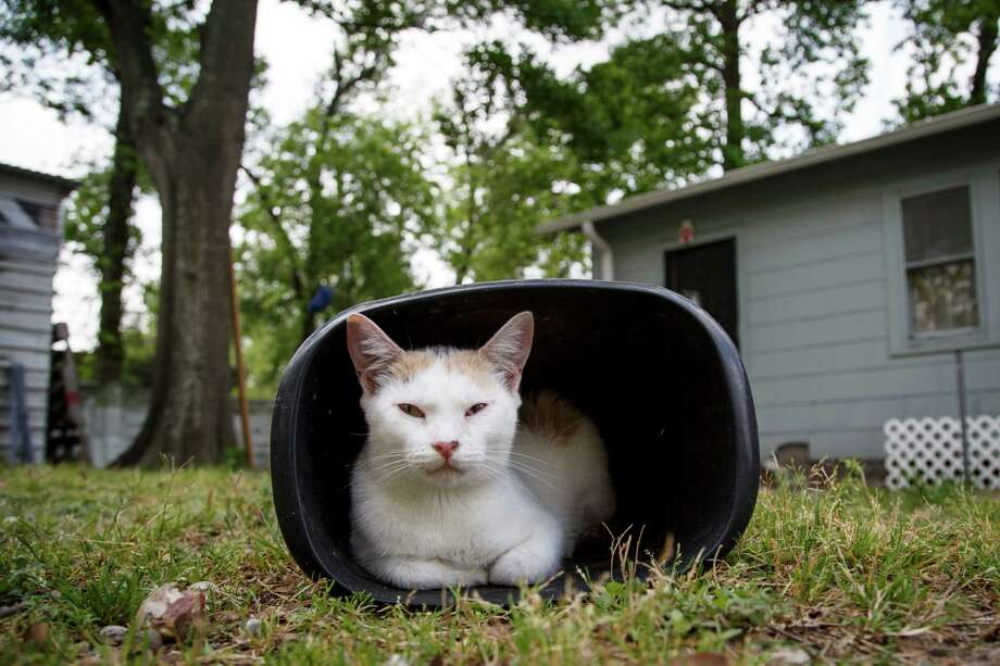 A cat sits in a waste basket at the Feral Feline Retreat, Tuesday, April 9, 2013, in Houston. Photo: Michael Paulsen, Houston Chronicle / © 2013 Houston Chronicle