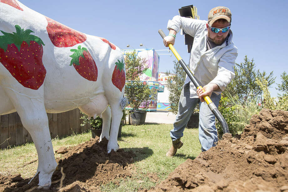 Chance Huschke prepares one of the attractions, a strawberry-dotted cow, at the Poteet Strawberry Festival grounds. Photo: Michael Miller, For The San Antonio Express-News