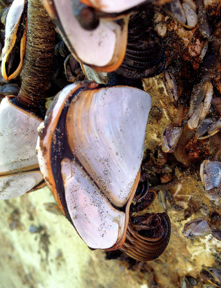 This is a detail image of goose neck barnacles attached to a fishing boat that washed ashore on a Crescent City beach Sunday that is quite likely the first piece of confirmed debris from the 2011 Japanese tsunami to reach the California coast. Photo: Lori A. Dengler / ONLINE_CHECK