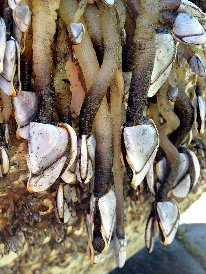 This is an image of goose neck barnacles attached to a fishing boat that washed ashore on a Crescent City beach Sunday that is quite likely the first piece of confirmed debris from the 2011 Japanese tsunami to reach the California coast. Photo: Lori A. Dengler / ONLINE_CHECK