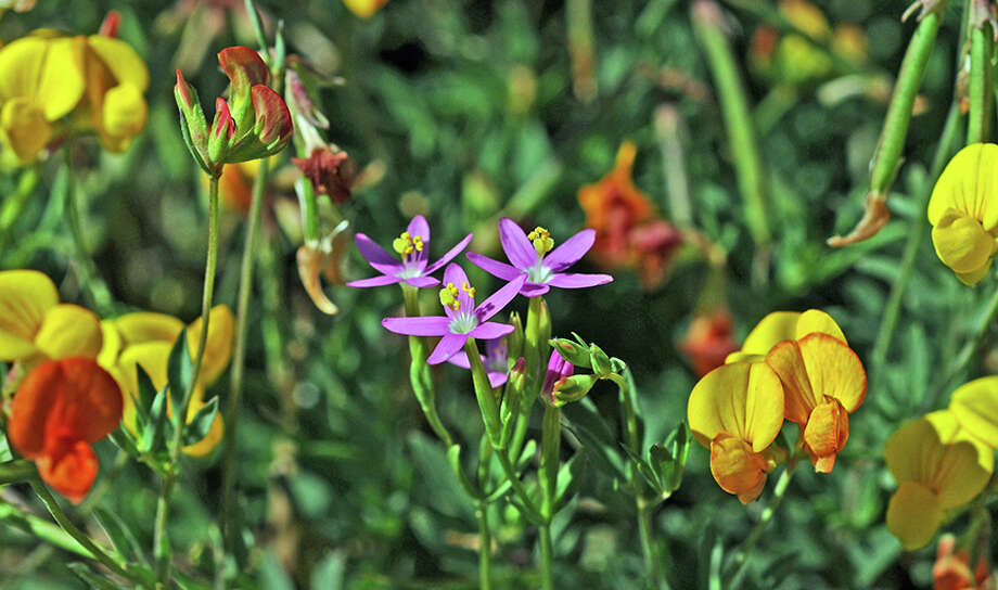Centaurium erythraea, or Muhlenberg\'s Centaury and Lotus corniculatus, or Bird\'s foot trefoil Photo: Doug Wirtz / Doug Wirtz