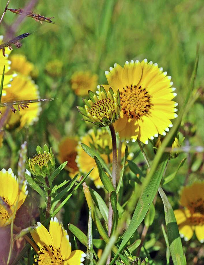 Closeup of Layia chrysanthemoides, or tidy tips. Photo: Doug Wirtz / Doug Wirtz