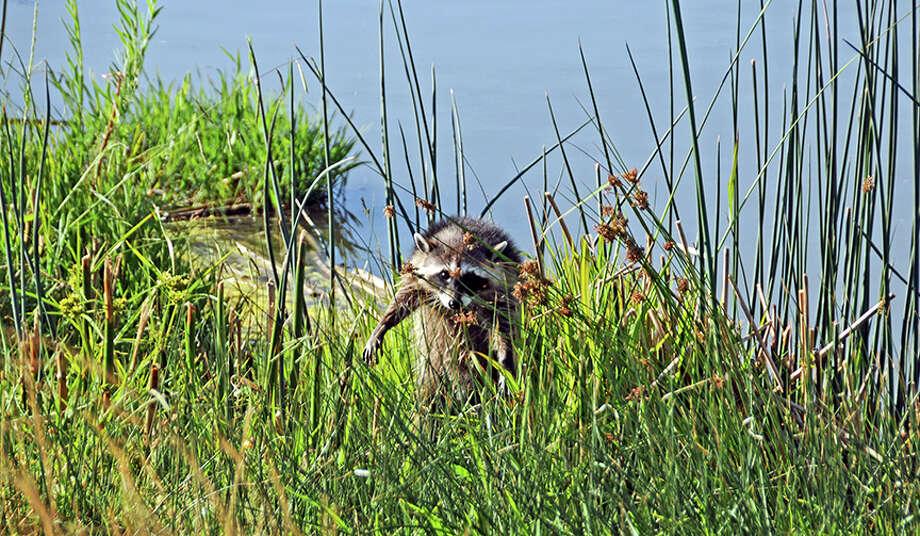 Raccoon at Barker Slough. Photo: Doug Wirtz / Doug Wirtz