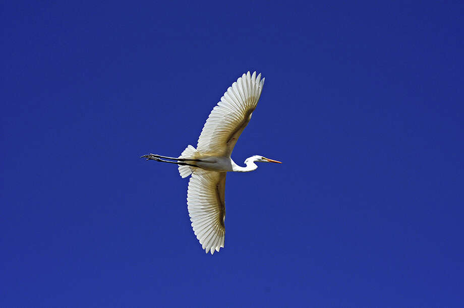 A low-flying Great Egret along Barker Slough. Photo: Doug Wirtz / Doug Wirtz