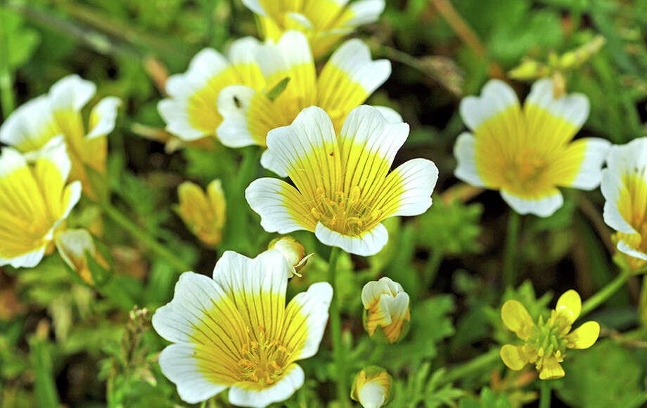Limanthes douglasii ssp douglasi, also called meadowfoam or poached-egg plant. Photo: Doug Wirtz / Doug Wirtz