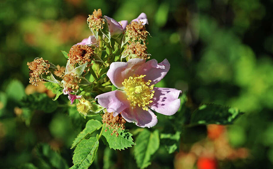 A native rose in Jepson Prairie Preserve. Photo: Doug Wirtz / Doug Wirtz