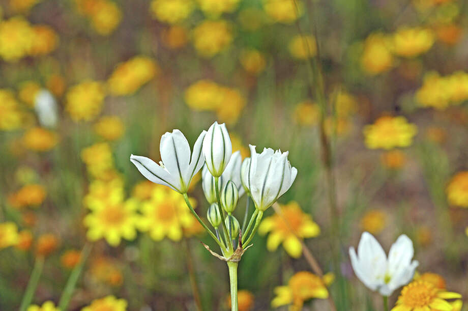 Tritelia hyacinthina has many common names, including wild hyacinth, white brodiaea and fool\'s onion. Photo: Doug Wirtz / Doug Wirtz
