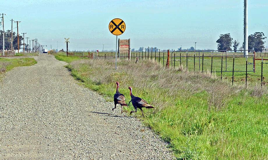 Male wild turkeys trot along a Jepson Prairie road. Photo: Doug Wirtz / Doug Wirtz