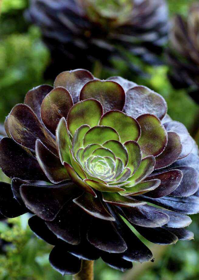 Succulents require little water. Photo: Michael Macor / San Francisco Chronicle