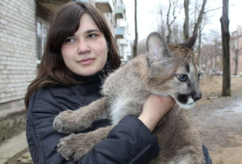 Cougar townhouse: Rasa Veliute holds a 4-month-old puma, one of three who live in her apartment in Klaipeda, Lithuania. The private-zoo volunteer took the cubs home when their mother refused to care for them. As for the apartment, well, it's cozy … Photo: Ausra Pilaitiene, Associated Press