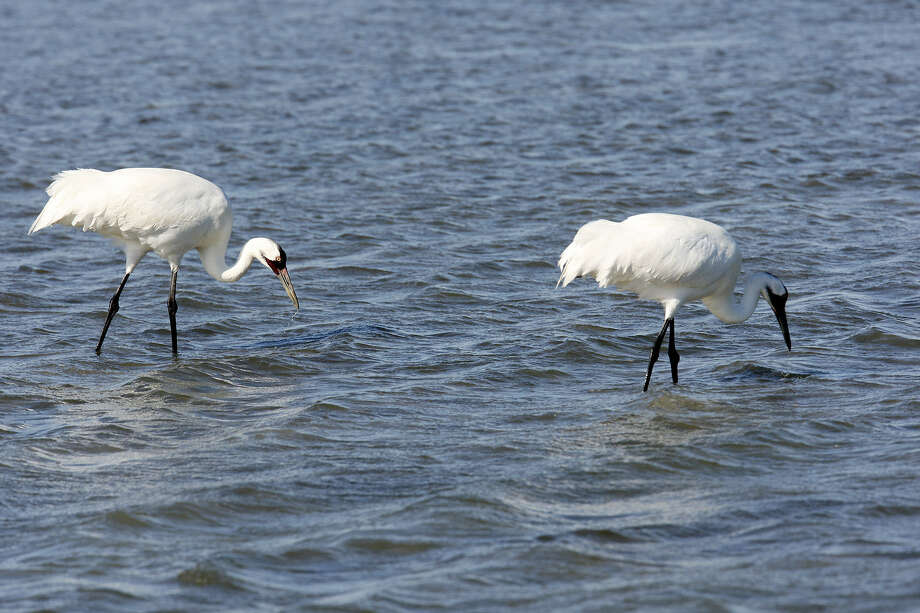 Future generations of Texans should be able to enjoy oysters and shrimp from Texas bays, fish for redfish, hunt mottled ducks, and, yes, see whooping cranes, the way we have. Photo: Jerry Lara, San Antonio Expess-News