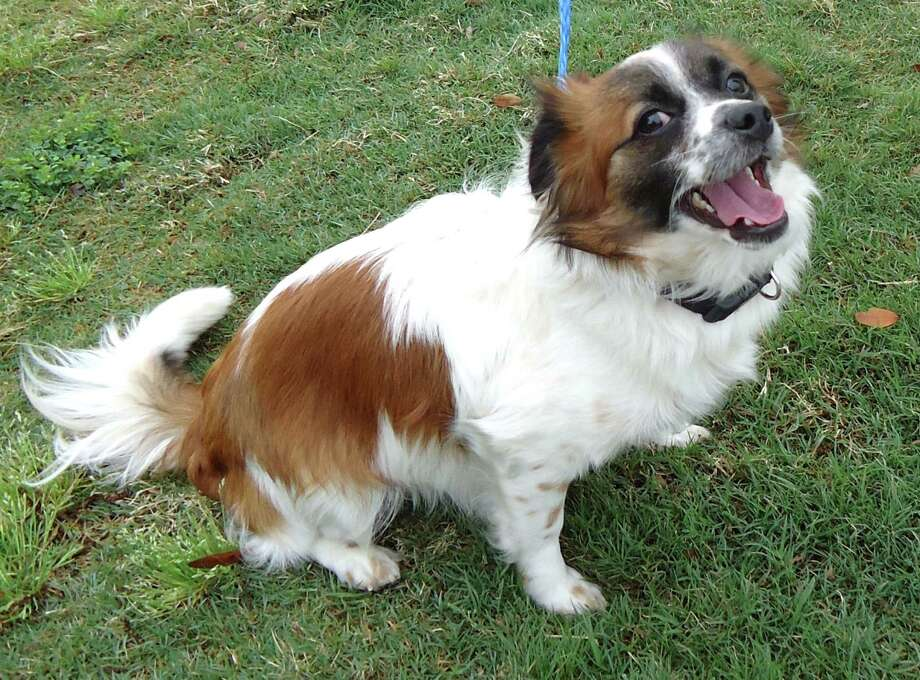 Next up is Rusty, a 2 year old Papillon / Long Coat Chihuahua  who looks little like a teacup St. Bernard.  He just needs a very tiny barrel. Photo: --