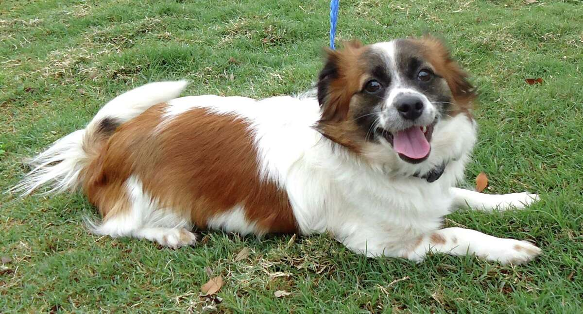 Next up is Rusty, a 2 year old Papillon / Long Coat Chihuahua who looks little like a teacup St. Bernard. He just needs a very tiny barrel.