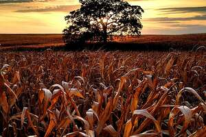 """October 9 - Day 200! Probably one of my last shots with corn still standing in the field. It should be picked today or tomorrow so I wanted to shoot one last sunset with the field of gold.  Photographs from the iPhone photo a day project """"That Tree"""", by Mark Hirsch."""