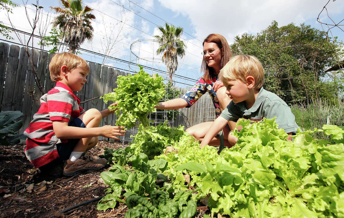 Anna Kehde and her sons Nicholas Cox (left) and Andrew Cox cut lettuce from their garden.