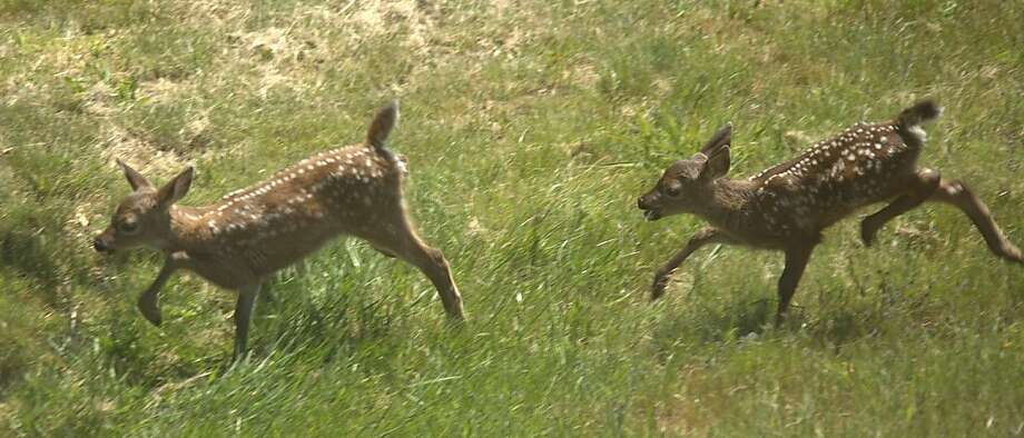 Two fawns, 2 days old, hop in the grass - that could be good news for the family pet. Photo: Courtesy Photo, Robert Scarola
