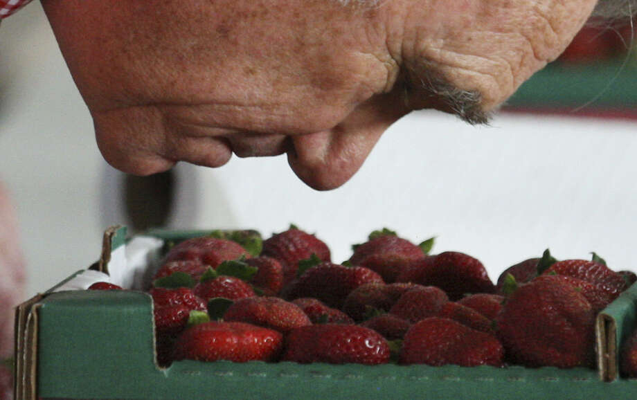 "Head judge Weldon Riggs puts his nose close to a flat of strawberries. Riggs, who's been a judge at the Poteet Strawberry Festival since 1999, said, ""You can't judge based on just one strawberry."" Photo: Photos By Kin Man Hui / San Antonio Express-News"