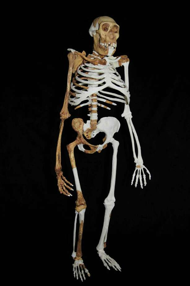 This undated image provided by Lee R. Berger and the University of the Witwatersrand shows a composite reconstruction of the skeleton of Australopithecus sediba. The newly-studied species lived some 2 million years ago, and it both climbed in trees and walked upright. Scientists are getting a more comprehensive look at the extinct South African creature with an intriguing mix of human-like and primitive traits, but scientists say they still haven't pinned down where it fits on our evolutionary family tree. Results were published in the journal Science on Thursday, April 11, 2013. Photo: AP