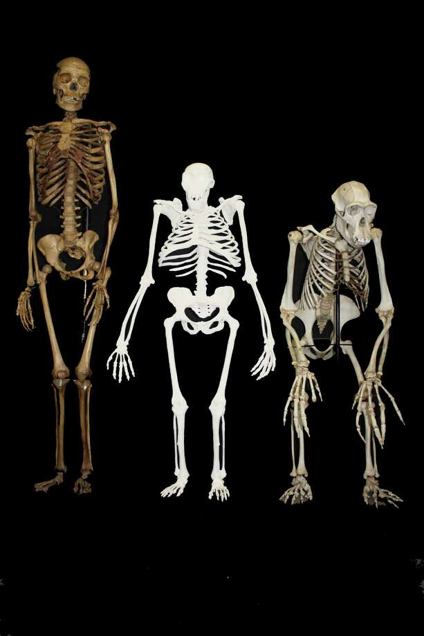 This undated image provided by Lee R. Berger and the University of the Witwatersrand shows a reconstruction of the skeleton of Australopithecus sediba, center, next to a small-bodied modern human female, left,  and a male chimpanzee. The newly-studied species lived some 2 million years ago, and it both climbed in trees and walked upright. Scientists are getting a more comprehensive look at the extinct South African creature with an intriguing mix of human-like and primitive traits, but scientists say they still haven't pinned down where it fits on our evolutionary family tree. Results were published in the journal Science on Thursday, April 11, 2013. Photo: AP