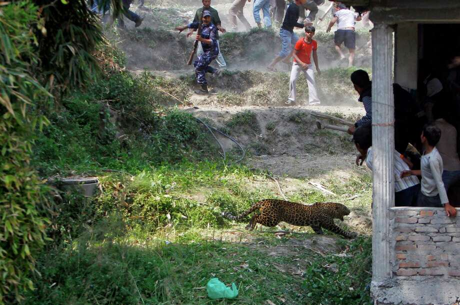 A leopard runs to attack as Nepalese people run for cover at Gothatar, Katmandu, Nepal, Wednesday, April 10, 2013. According to reports, 15 people were injured including three policemen and two officials from the Department of Forest. The leopard was later killed with the help of Nepalese policemen and local media. Photo: AP