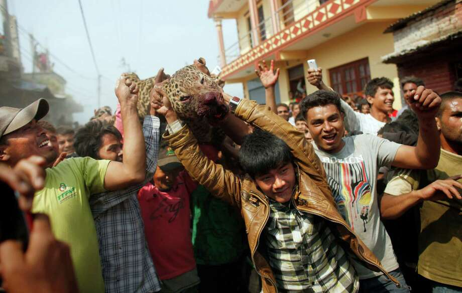 Nepalese people carry a dead leopard who attacked locals at Gothatar, Katmandu, Nepal, Wednesday, April 10, 2013. According to reports, 15 people were injured including three policemen and two officials from the Department of Forest. The leopard was later killed with the help of Nepalese policemen and local media. Photo: AP